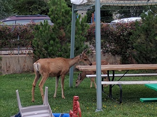 UC516_Day_21_Deer_in_Yard
